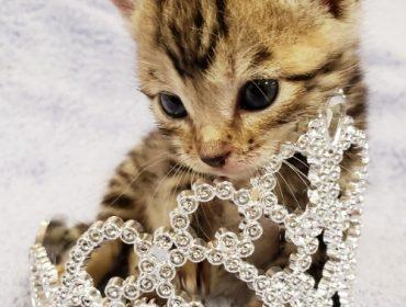 A kitten in a tiara
