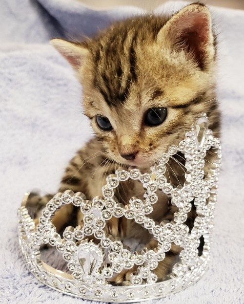 A kitten in a tiara