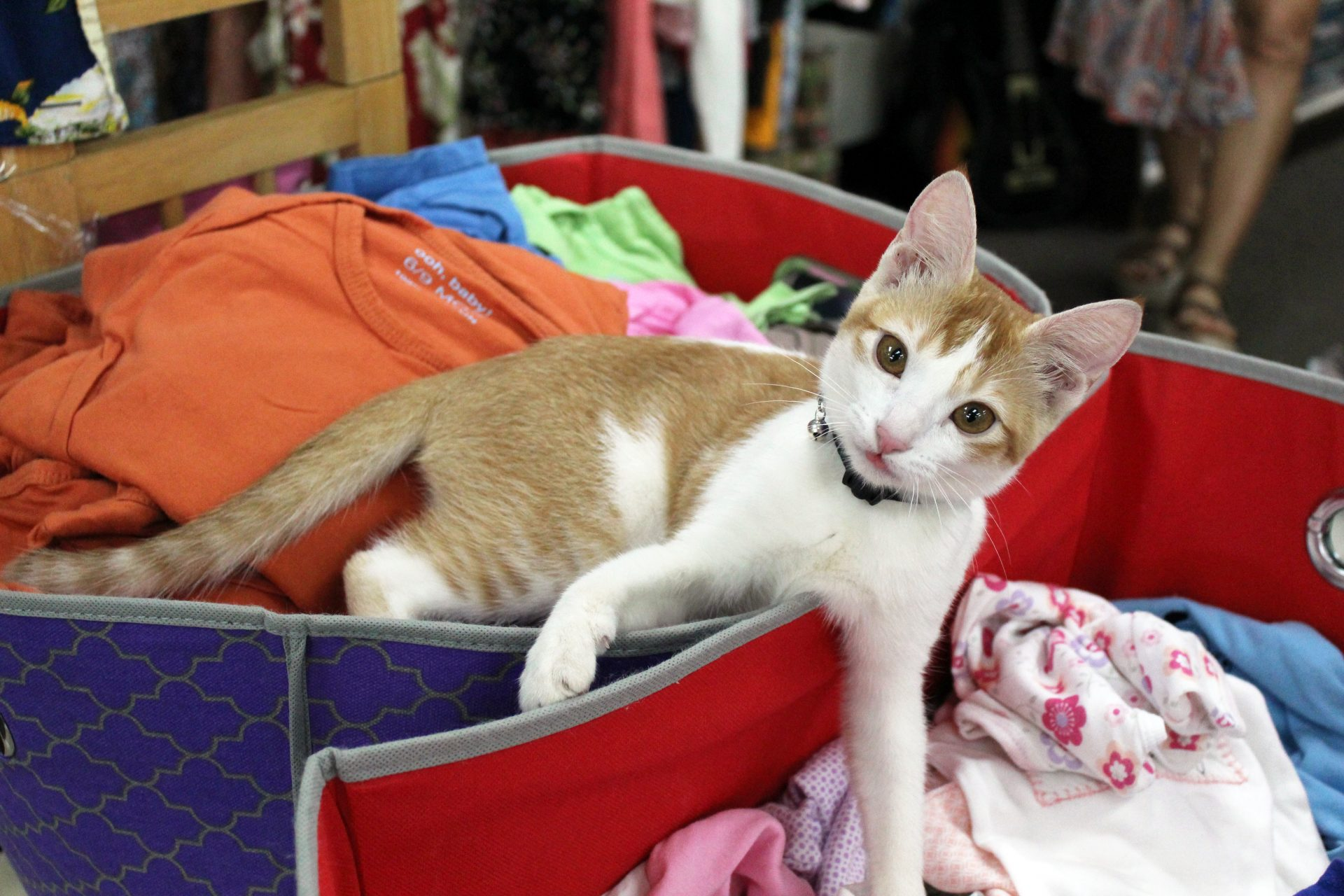 A cat at Bloomingtails thrift shop in Kauai.